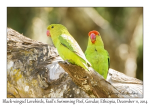 Black-winged Lovebirds