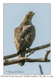 Oriental Honey-buzzard, immature