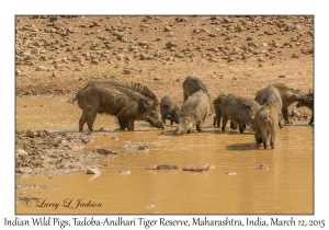 Indian Wild Pigs