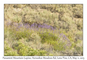 Panamint Mountain Lupine