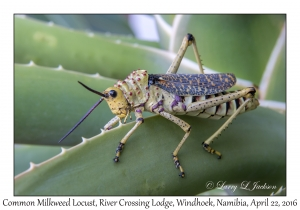 Common Milkweed Locust