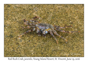Red Rock Crab, juvenile