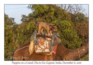Puppies on Camel