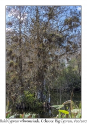 Bald Cypress with bromeliads