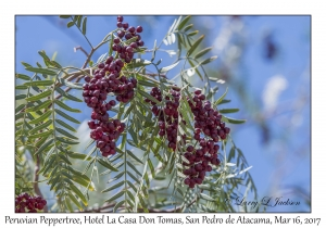 Peruvian Peppertree berries