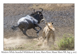 Lion & Western White-bearded Wildebeest