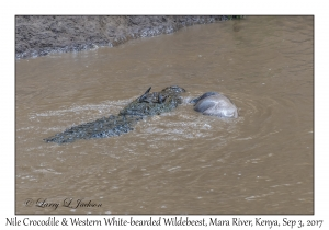 Nile Crocodile & Western White-bearded Wildebeest