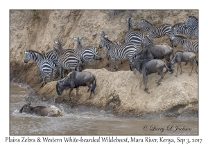 Plains Zebra & Western White-bearded Wildebeest