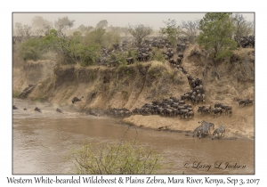 Western White-bearded Wildebeest & Plains Zebra