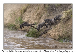 Western White-bearded Wildebeest