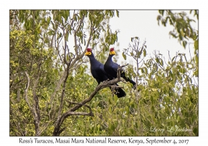 Ross's Turacos