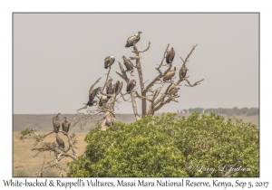 White-backed & Ruppell's Vultures