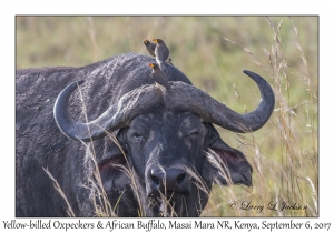 Yellow-billed Oxpeckers & African Buffalo