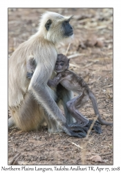 Northern Plains Langur