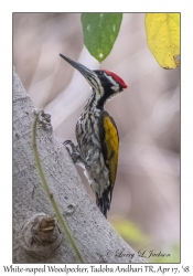 White-naped Woodpecker