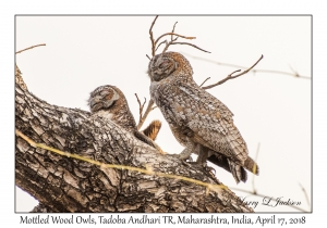Mottled Wood Owls