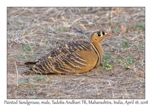 Painted Sandgrouse