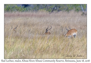 Red Lechwe, males