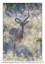 Common Impala, male