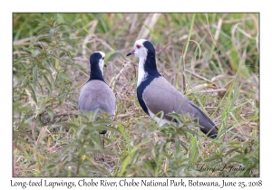 Long-toed Lapwings