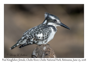 Pied Kingfisher, female