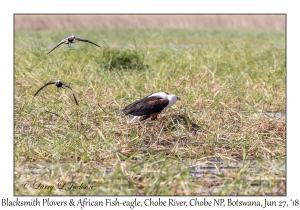 African Fish-eagle & Blacksmith Plovers