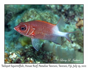 Tailspot Squirrelfish
