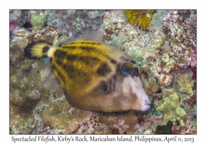 Spectacled Filefish
