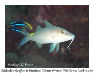 Goldsaddle Goatfish & Bluestreak Cleaner Wrasses