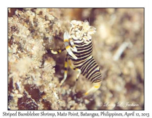 Striped Bumblebee Shrimp