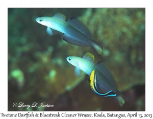 Twotone Dartfish & Bluestreak Cleaner Wrasse