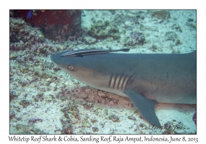 Whitetip Reef Shark & Cobia
