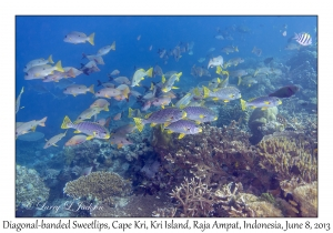 Diagonal-banded Sweetlips & Onespot Snappers