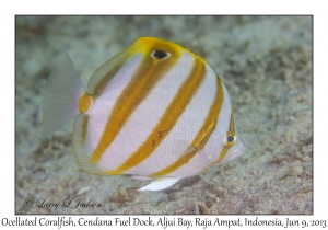 Ocellated Coralfish