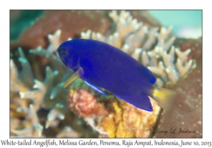 White-tailed Angelfish