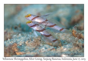 Yellownose Shrimpgobies