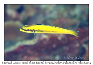 Bluehead Wrasse