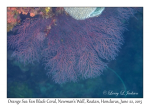 Orange Sea Fan Black Coral