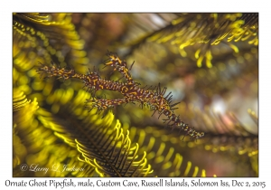 Ornate Ghost Pipefish, male