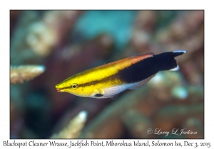 Blackspot Cleaner Wrasse
