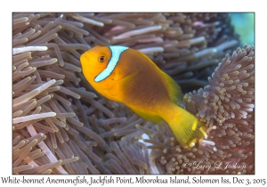 White-bonnet Anemonefish