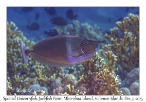 Spotted Unicornfish