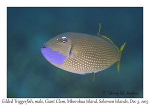 Gilded Triggerfish, male