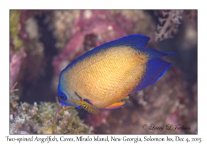 Two-spinned Angelfish