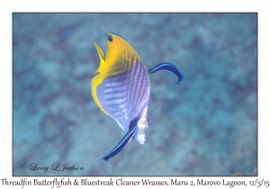 Threadfin Butterflyfish & Bluestreak Cleaner Wrasses