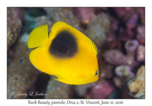 Rock Beauty, juvenile