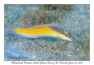 Yellowhead Wrasse, initial phase