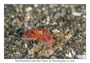 Red Porcelain Crab