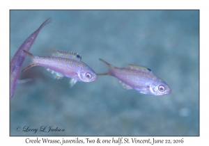 Creole Wrasse, juveniles
