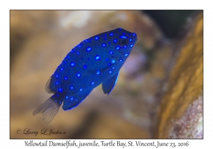 Yellowtail Damselfish, juvenile